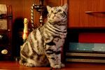 """Британский кот- """"Tomas"""" , серебристый чёрный мраморный . Вл-ц Кириенко Александра, г. Зеленоград 2010г."""