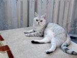 Британская кошка.Вл-ц Пантелеева Евгения, г. Березники Пермский край 2010г.