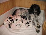 12. Lebenstag - Die Fütterung bleibt der Hundemutter.