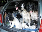 Autofahren - Balou von Grinzing, Comtess vom Bergwald, Ari, Charly, Cora, Cibby und Cicero von Grinzing