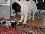 Dark stellt uns seinen wirklich grossen Partner Charly vor! Charly ist ein Landseer mit 60 kg!