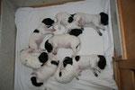 alle acht satt, zufrieden und müde! Sie wiegen zwischen 1.316g und 1.671g. Sie haben seit der Geburt, in 14 Tagen, gemeinsam 8.741g zugenommen!