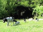 7. Lebenswoche Vor dem Futtern gibt es nichts schöneres als mit Ari über die Wiese und durch den Weingarten zu toben!