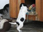 Die Welpen dürfen hinter dem Haus im Schatten spielen. In die Hütte....