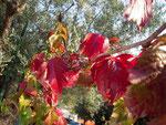 Telese - Tralcio di vite americana  in piena maturazione,dai colori che mutano dal verde al rosso