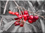 Cava de' Tirreni - S.Arcangelo, Ciliegie rosse con foglie grigie