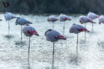 Flamands rose - France