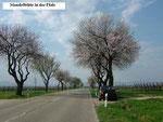 Südpfalz:  Mandelblüte in der Pfalz, hier: südlich von Landau.  Die südöstliche Pfalz ist meine pfälzische Heimat. (Foto: Ochsenreither)