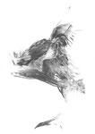 Pygargue à queue blanche, fusain sur papier, 34 x 50 cm