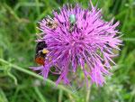 Flockenblume mit Steinhummel und Rosenkäfer
