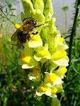 Gewöhnliches Leinkraut mit Biene