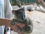 ooooh!!! ein Baby-Koala