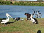 Pelikane sind scharf auf den Fang der Angler