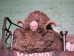 Merino-Schaf