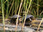 Land-Deutschland-Hamburg-Fischbeker-Heide-Rotwangenschmuckschildkröten