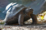 Land-Seychellen-Mahè-Aldabra-Riesenschildkröte