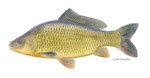 Carpe cyprinus carpio, forme sauvage