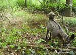 Chat sauvage , felis silvestris