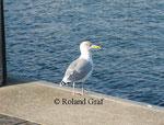 Silbermöwe (Herring Gull / Larus argentatus),ad.