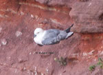 Northern Fulmar  (Fulmarus glacialis) breedes in Germany only on Helgoland