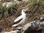 Der Maskentöpel ( Masked Booby / Sula dactylatra) brütet im südlichen Atlantik und ähnelt sehr dem Baßtölpel.