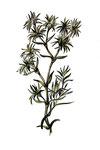 Scleranthus (Alène)