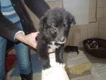 Kleiner schwarzer Welpe - gestorben an Parvo