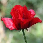 Fantasie und Wirklichkeit Fotografien und Gedichte Kathrin Steiger rote Blume mit Regentropfen märchenhaft verträumt fantasievolle bunte Welt  Phantasie Fantasy