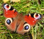 Fantasie und Wirklichkeit Fotografien und Gedichte Kathrin Steiger Schmetterling Tagpfauenauge märchenhaft verträumt fantasievolle bunte Welt  Phantasie Fantasy