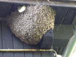 Naturschauspiel Bienenschwarm