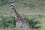 Giraffe mit Madenhackern ISO 800 f/6,3 1/80 s 380 mm