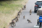 Paviane (Baboons)