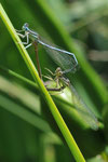 Gemeine Federlibelle (Platycnemis pennipes) bei der Paarung