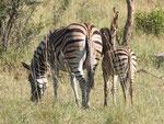 Zebra mit Fohlen ISO 200 f/8 1/250 s 290 mm