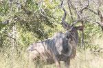 Kudu Bock ISO 200 f/7.1 1/200 240 mm