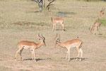 Impalas  ISO 200 f/8 1/250 s 170 mm