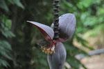Nektarvogel an Bananenblüte
