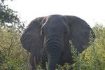 Elefantenbulle ISO 400  f/8 1/250 s 290 mm