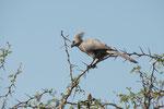Lärmvogel