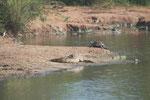 Krokodile und Schildkröte