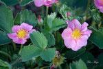 Blühende Erdbeerpflanze