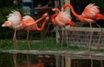 Roter Flamingo (Kubaflamingo)