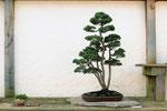 Ein Wacholder Bonsai als fünffachstamm