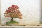 ein Amberbaum Bonsai mit schöner Herbstfärbung