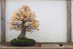 auch dieser Linden Bonsai präsentiert seine Herbstfärbung
