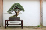 Wacholder Bonsai mit Totholz