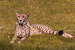 Gepard als Fotomodell.