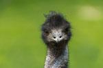 Emu mit Blickkontakt