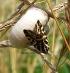 Arlequinette jaune (Emmelia trabealis) observée en Bourgogne