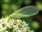 Chrysope (Chrysoperia carnea)